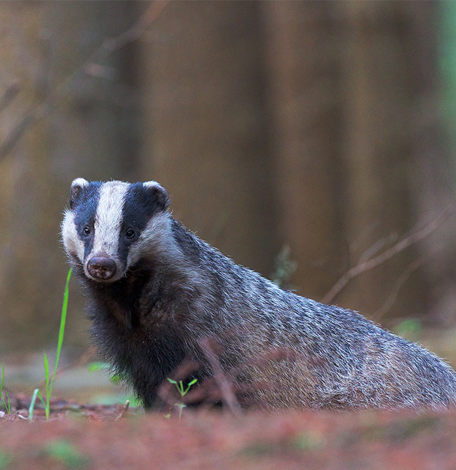 Badger culling as main solution to prevent spread of bovine TB is